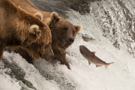 salmon leaping: A leaping salmon jumps towards two bears at Brooks Falls, Alaska. One of them is within a few inches of catching it in its mouth. Stock Photo