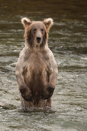 brooks camp: A brown bear is standing on its hind legs in the shallow rapids of Brooks River, Alaska. It is fishing for salmon just below Brooks Falls, and its fur is dripping with water. Stock Photo