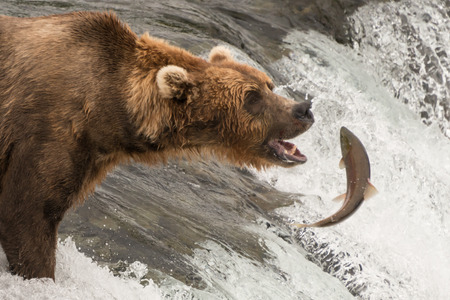A brown bear is staring with its mouth open at a salmon it's about to catch at Brooks Falls, Alaska. The fish is only a few inches away from its mouth. 스톡 콘텐츠