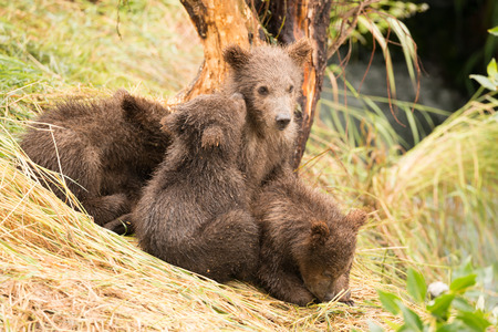 brooks camp: A brown bear cub nuzzles another beside Brooks River, Alaska. They are part of a family of four cubs sitting on a grassy bank beside a tree.