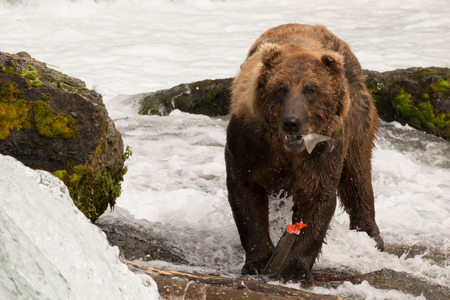 brooks camp: A brown bear is holding a salmon tail in its mouth and the rest of the fish in its claws, surrounded by  the white water of Brooks Falls, Alaska. Two moss-covered rocks can be seen behind it and to one side. Stock Photo
