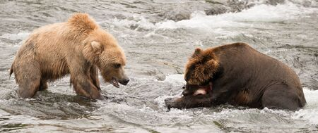 brooks camp: A brown bear is eating a salmon in the shallow rapids of Brooks River, Alaska. It has fishing for salmon just below Brooks Falls, but another bear wants the fish and is challenging for it.