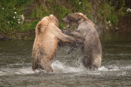 brooks camp: Two brown bears are fighting each other on their hind legs in the shallow rapids of Brooks River, Alaska. They have been fishing for salmon just below Brooks Falls.