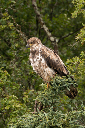 brooks camp: A juvenile bald eagle with mottled plumage is perched in a pine tree on the banks of Brooks River, Alaska. It is watching the river intently for possible prey.