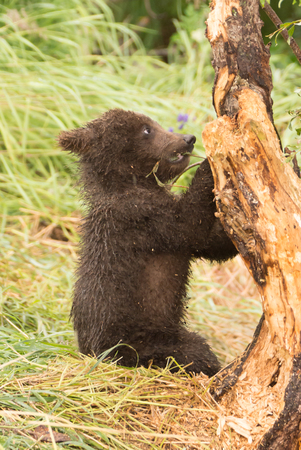 brooks camp: A brown bear cub sitting in the grass chews the branch of a tree. Beside it, the trunk has had its bark stripped off by the bears.
