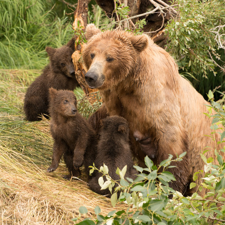 brooks camp: Four brown bear cubs are sitting with their mother on the bank of Brooks River, Alaska. One is looking up at her.
