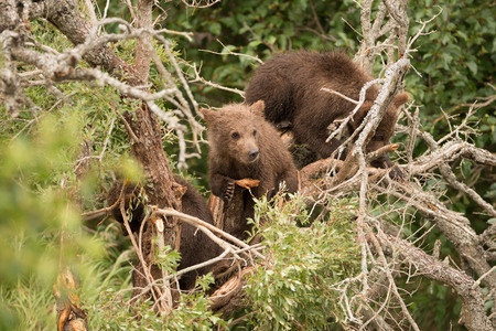 brooks camp: A brown bear cub resting in a dead tree leans on a branch and looks to the right. Two other cubs are also in the tree, surrounded by foliage.