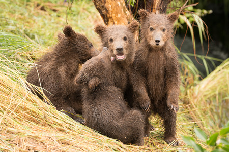 brooks camp: Three brown bear cubs are sitting under a tree on the grassy bank of Brooks River, Alaska. Another is standing on its hind legs and looking at the camera.