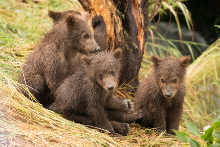 brooks camp: Four brown bear cubs are sitting by a tree on the grassy bank of Brooks River, Alaska. One is looking at the camera.