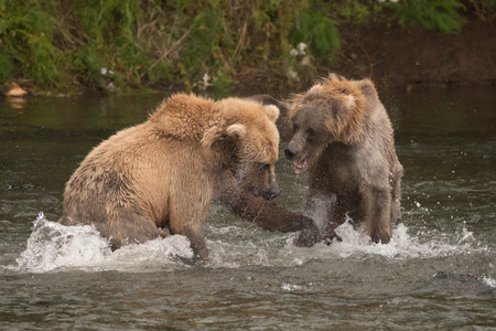 salmon falls: Two brown bears are fighting each other in the shallow waters of Brooks River, Alaska. They have been fishing for salmon just below Brooks Falls.