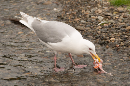 brooks camp: A seagull is pecking at a chunk of salmon in the shallows of Brooks River, Alaska. It is only a few inches from the gravel shore.