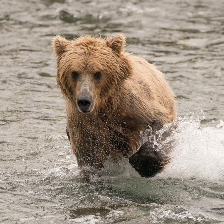 brooks camp: A brown bear splashes through the shallow rapids of Brooks River, Alaska. It has been fishing for salmon just below Brooks Falls.