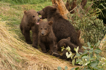 brooks camp: Four brown bear cubs are sitting beneath a tree beside Brooks River, Alaska.They are sitting on a grassy bank surrounded by foliage.