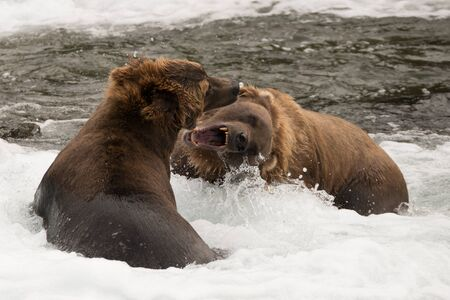 brooks camp: A brown bear is roaring at another one in the shallow rapids of Brooks River, Alaska. They have been fishing for salmon just below Brooks Falls.