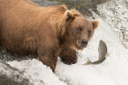 brooks camp: A brown bear is staring at a salmon its about to catch at Brooks Falls, Alaska. The fish is only a few inches away from its mouth. Stock Photo