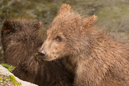 brooks camp: A brown bear cub is sitting with a sibling beside a moss-covered rock on the banks of Brooks River, Alaska. It is looking almost directly towards the camera.