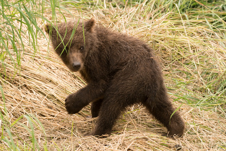 brooks camp: A brown bear cub on its hind legs turns and looks back while walking on a grassy bank. A few blades of grass hang down in front of its face, but one eye is clearly visible. Stock Photo