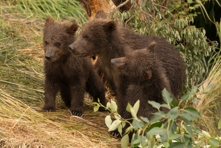 brooks camp: Three brown bear cubs are underneath a tree on the bank of Brooks River, Alaska. They are all facing left.