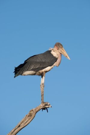 african stork: A stork is perched at the end of a branch on a dead tree and looking towards the camera. In the background is a beautiful blue sky. Stock Photo