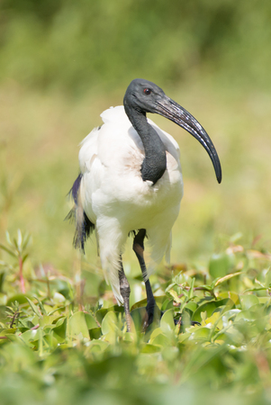 naivasha: A sacred ibis walks among plants in the marshy ground beside Lake Naivasha in Kenya. It has a black head and black curved beak but white feathers.