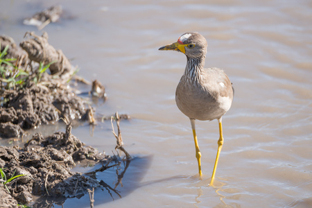 wading: An African wattled lapwing with a red, white and yellow head, brown feathers and yellow legs is wading in a stream beside the muddy bank with a few tufts of grass on it.