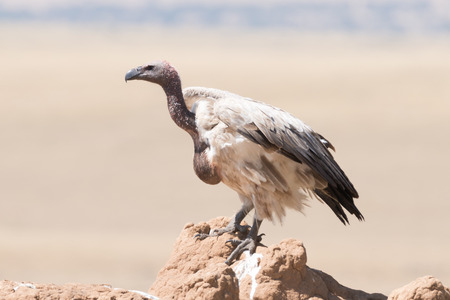 carrion: An African white-backed vulture with a blood-stained neck looks for carrion from the top of a termite mound on the African savannah.