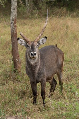 apparently: A male waterbuck is standing in the grass beside a tree in the African savannah, apparently winking at the camera. Part of his right horn is missing. Stock Photo