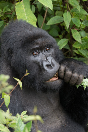 nibbling: A male silverback gorilla looks straight at the camera while nibbling on a branch hes holding to his mouth with his hand. He is surrounded by the dense green undergrowth of the forest. Stock Photo