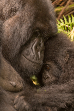 two animals: A baby gorilla in the forest of the Parc National des Volcans in Rwanda looks shyly out from under its mothers chin. It is a close-up of the two animals heads, with some ferns in the background.
