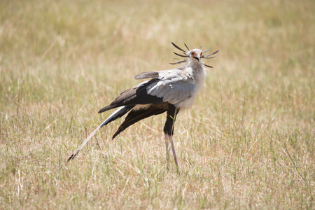 black plumage: A secretary bird with black and white plumage is standing in the long grass of the African savannah.