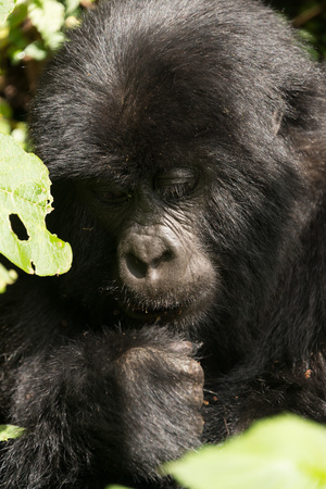 dappled: A baby gorilla in dappled sunshine looks down at its fist. It is sitting in the forest surrounded by leaves.