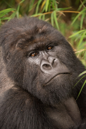 head tilted: A male silverback gorilla looks straight at the camera with his head tilted at an angle. Behind his head and shoulders can be seen the leaves of a tree. Stock Photo