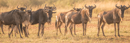 african wildebeest: A group of seven wildebeest standing in a line stare towards the camera on the African savannah.