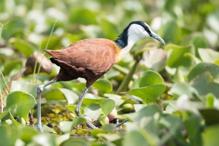 jacana: An African jacana is looking for food among the water hyacinths beside a lake. It has a black and white head, brown feathers and grey legs.