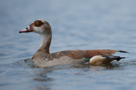 wildfowl: An Egyptian goose seen in close-up is swimming on its own on a calm lake.