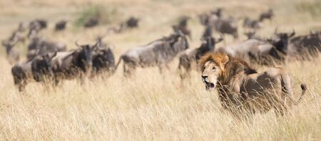 african wildebeest: A lioness seen from the side watches as a herd of wildebeest passes by on the African savannah. One or two wildebeest are standing looking at him warily.