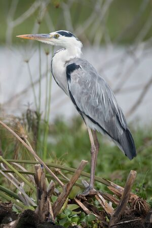 black plumage: A Black-headed heron is perched in profile on a tangle of branches with the lake in the distance. The heron has grey, white and black plumage and an orange beak. Stock Photo