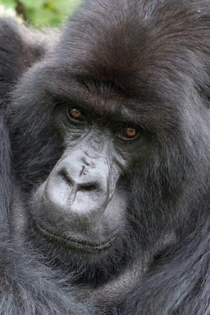 silverback: A male silverback gorilla is looking straight at the camera with his arm over his shoulder. Behind his head and shoulders can be seen part of the green canopy of trees in the forest.