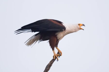 talons: An African fish eagle with a white neck, yellow beak and talons and brown wings opens its beak to squawk. In the background is a perfect blue sky.