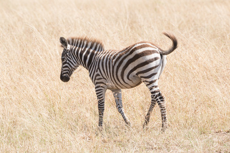flicking: A zebra foal walks through the long grass of the African savannah, flicking its tail to ward off flies.