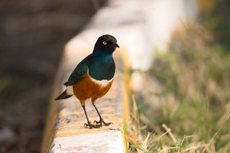 kerb: A superb starling with brilliant blue, whie and orange feathers is perched on a yellow striped kerb beside the road. On the right is a grass verge. Stock Photo