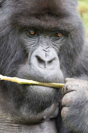 nibbles: A male silverback gorilla is holding a branch in his hand while he nibbles on it. Behind his head and shoulders can be seen a few leaves in the forest.