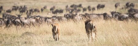 african wildebeest: A male and a female lion seen from behind stalk a herd of wildebeest on the African savannah, surrounded by long grass.