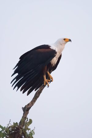 talons: An African fish eagle with a white neck, yellow beak and talons and brown wings is perched on the top branch of a tree. In the background is a perfect blue sky.
