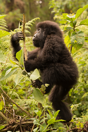 A baby gorilla in the forest of the Parc National des Volcans in Rwanda looks up as it climbs a branch. It is surrounded by green undergrowth. Banco de Imagens