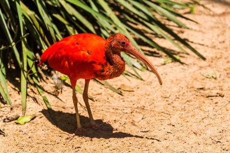 scarlet: Scarlet ibis in sunshine beside green bush