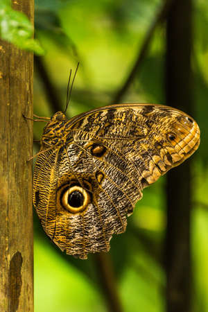 vertically: Achilles morpho perched vertically on wooden pole