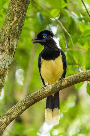 corvidae: Plush-crested jay singing on branch of tree
