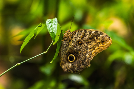 vertically: Achilles morpho butterfly perched vertically on leaf