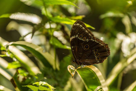 variegated: Achilles morpho butterfly perched on variegated leaf